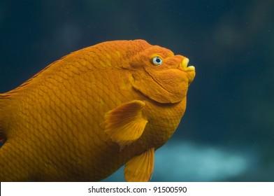 A close-up shot of an orange Garibaldi fish.