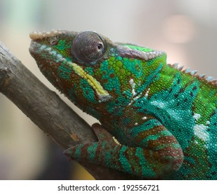 Closeup shot of a panther chameleon