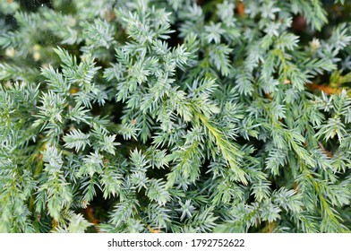 A closeup shot of a Pinetree leaves