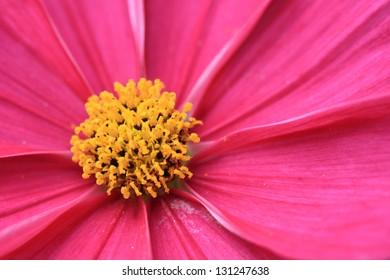 closeup shot of a pink Cosmos bipinnatus flower in full blossom
