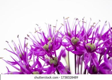 A closeup shot of purple allium flower petals