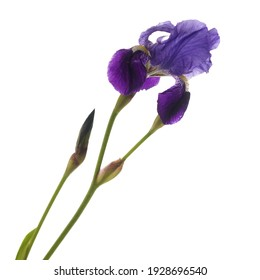 A closeup shot of a purple iris flower isolated on the white background