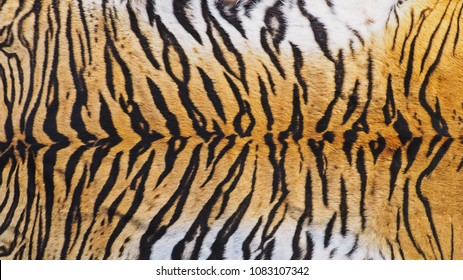 Close-Up Shot of Real Indo-Chinese Tiger (Panthera Tigris Corbetti) Skin / Pelt for Background, Backdrop or Wallpaper.