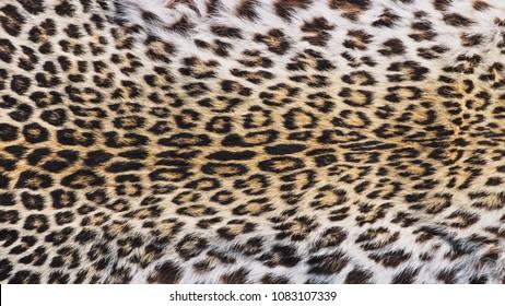 Close-Up Shot of Real Leopard Panther (Panthera Pardus Linnaeus ) Skin / Pelt.