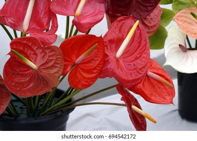 A closeup shot of Red Anturium Flowers