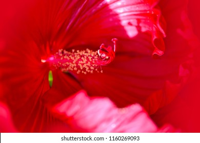 Close-up shot of red Hibiscus flower. Full screen flower. Nature background.