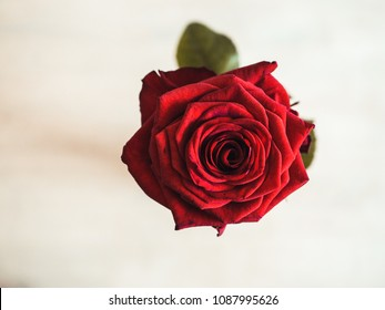 Close-up shot of a Red Rose with white wall in background