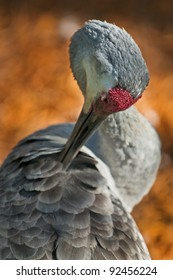 Close-up shot of a sandhill crane grooming its feathers