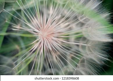 A closeup shot of the seeds of a spend salsify flower head.