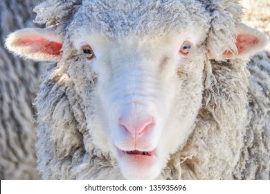 The closeup shot of the sheep in Queenstown