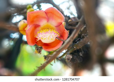 Close-up shot of the Shorea robusta or Cannon Ball Flower blooming on the Sala tree.