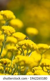 Close-up shot of Shrubby Everlasting (Helichrysum stoechas)