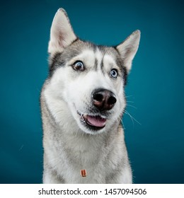 A close-up shot of a Siberian husky with a crazy expression, eyes wide open