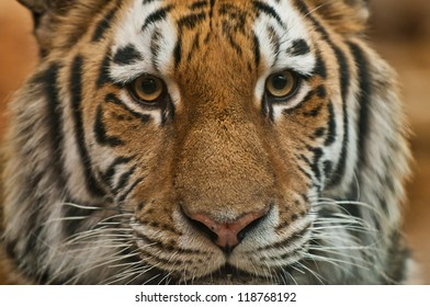 Close-up shot of a Siberian Tiger's face