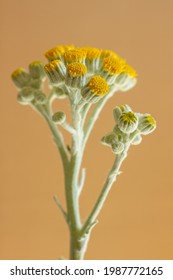 Close-up shot of Silver Ragwort plant with blossoms, also known as Jacobea maritima, isolated on a black background.
