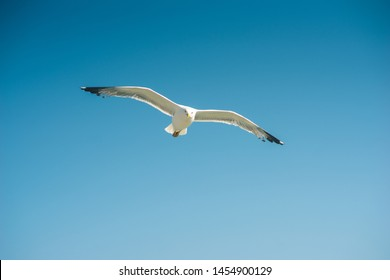 Close-up shot of a Single seagull flying, blue sky in background