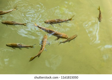 closeup shot of some Garra rufa fishes swimming calmly in a pristine clear tropical pond with green clean waters