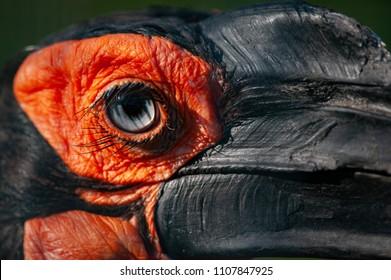 Closeup shot of a Southern ground hornbill bird eye and beak