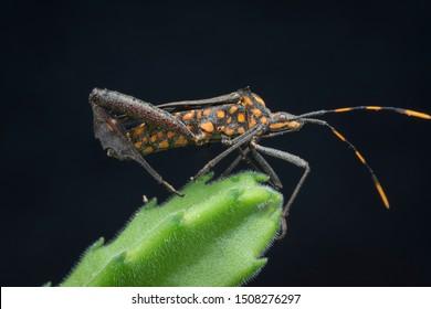 closeup shot of squash leaf-footed bug.