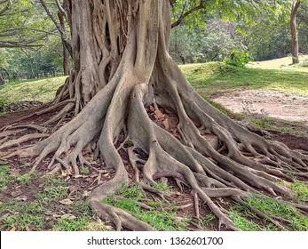 closeup shot of strangler fig boughs seen in Sri Lanka