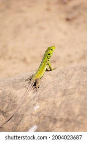 Close-up shot of (Timon pater) North African Ocellated Lizard  - Shutterstock ID 2004023687