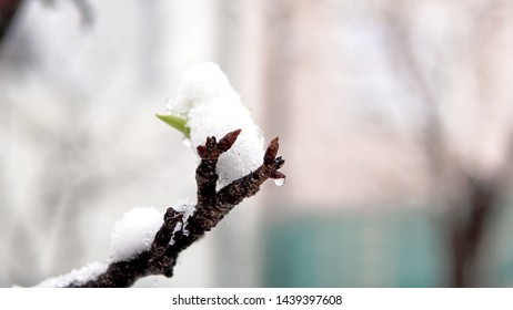 Closeup shot of tree blossom flower and snow in the spring. Weather anomalies