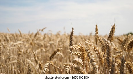 A closeup shot of a Triticale field during daytime