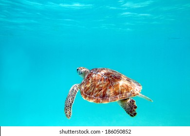 Close-up shot of a turtle under water, shallow focus. Riviera Maya, Mexico