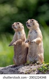 a closeup shot of two cute meerkats