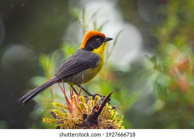 A closeup shot of a yellow-breasted brush finch bird perched on tree branch