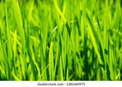 Closeup shot of young rice plants growing