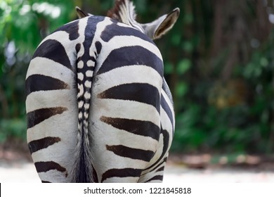 A closeup shot of Zebras Ass or behind. Animal ass. A common Burchell's zebra Equus quagga in a park somewhere in Singapore