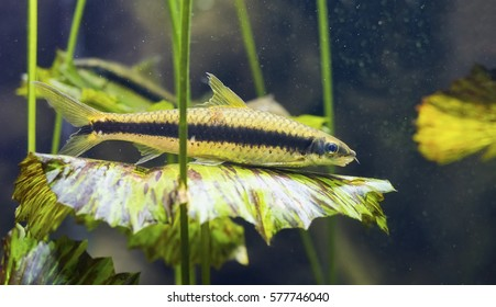 Closeup of a Siamese algae eater fish (Crossocheilus siamensis) atop an underwater leafy plant.