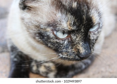 Closeup of siamese cat with beautiful blue eyes