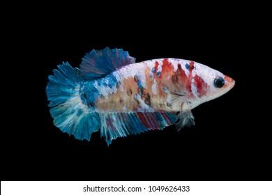 close-up of siamese fighting fish (betta splendens) isolated on black background (Halfmoon Plakat female koi galaxy)