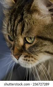 Closeup of a siberian cats face.