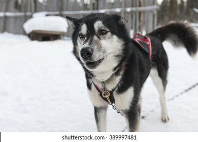 Close-up of siberian husky