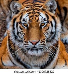 Closeup of Siberian tiger
