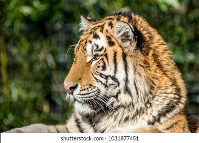Close-up of Siberian Tiger in the nature
