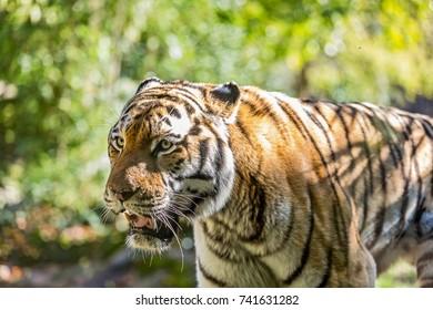 Close-up of a siberian Tiger. Siberian tiger (Panthera tigris altaica)