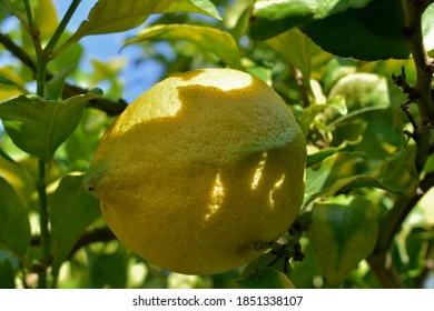 Cierre de un limón enfermo afectado por áfidos y ácaros que causan su deformación.