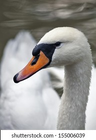 Closeup side face portrait of a whooping swan. The head, neck and shoulder of a white swan with orange beak. Wild beauty of a excellent web foot bird