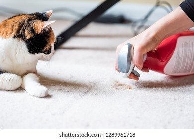 Closeup side profile of calico cat face looking at mess on carpet inside indoor house, home with hairball vomit stain and woman owner cleaning