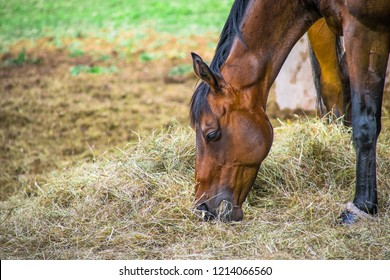 Closeup Side view of Beautiful brown horse  eating grass and hay in meadow and green field in summertime alone