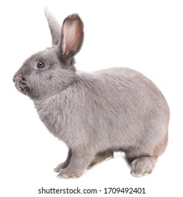 Close-up side view of a gray rabbit in white background