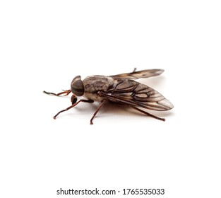 Closeup side view of a horse fly (Hybomitra lasiophthalma) isolated on a white background