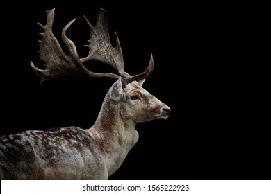 Close-up side view of a male fallow deer (Dama dama). Wild animal looking to the right and isolated on a black background and copy space