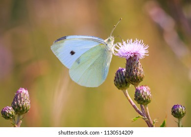 Closeup side view of a Pieris brassicae, the large white or cabbage butterfly pollinating on a flower.
