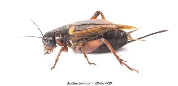 Closeup side view of red cricket isolated on white background, female cricket
