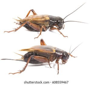 Closeup side view of red cricket isolated on white background, collection male and female cricket